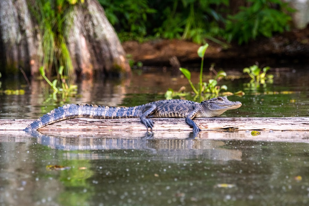 black crocodile on body of water during daytime
