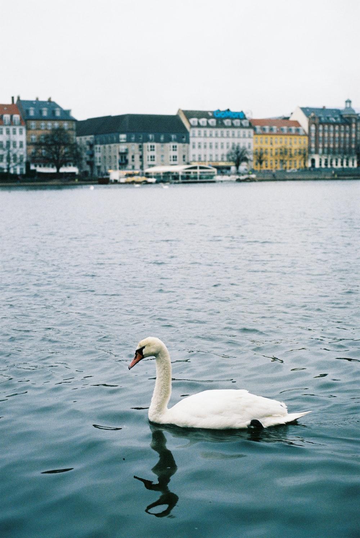 Cigno bianco sull'acqua durante il giorno