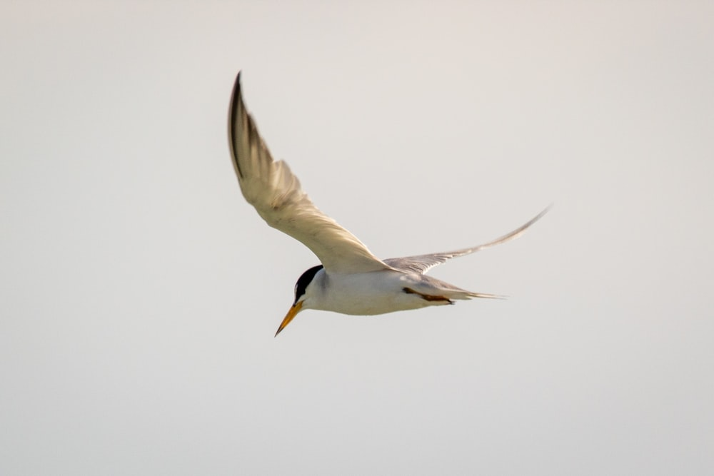 white and brown bird flying
