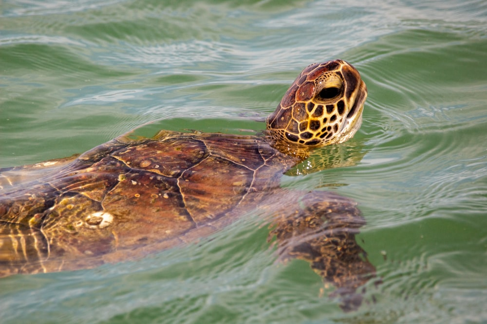 brown and black turtle on water