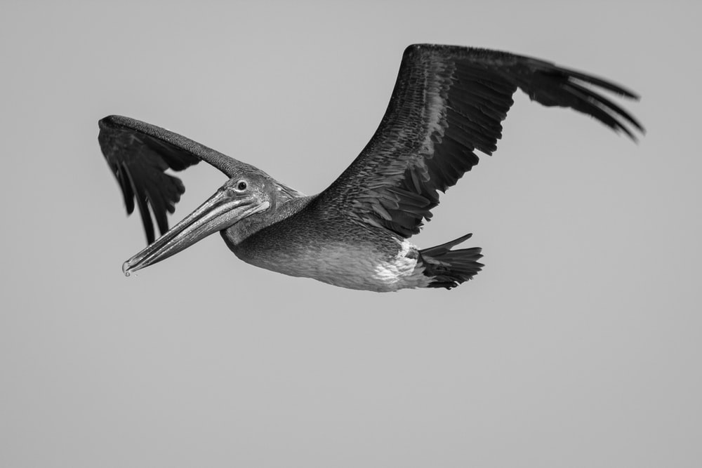 gray and white pelican on white background