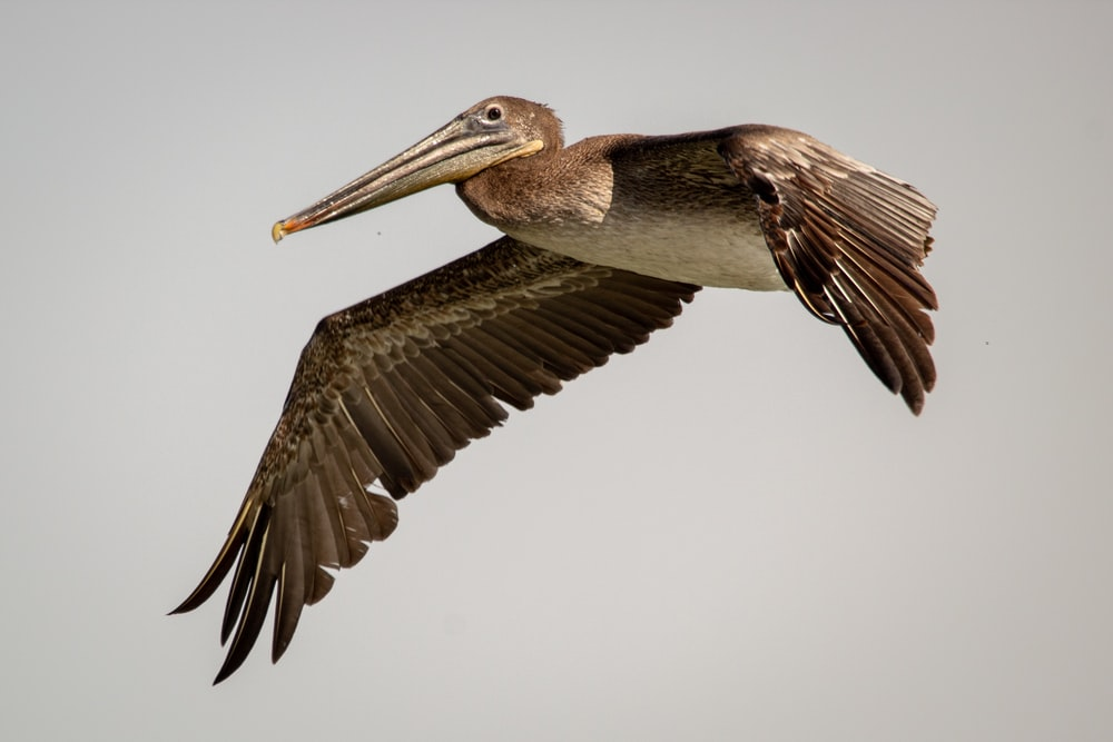 brown pelican flying during daytime