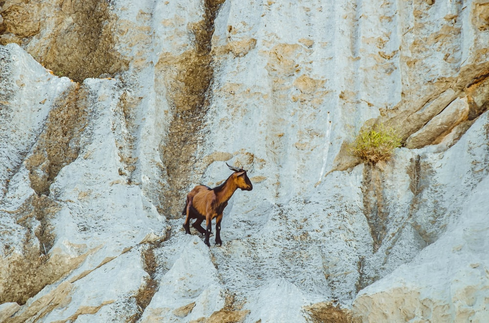 brown and white goat on gray rock