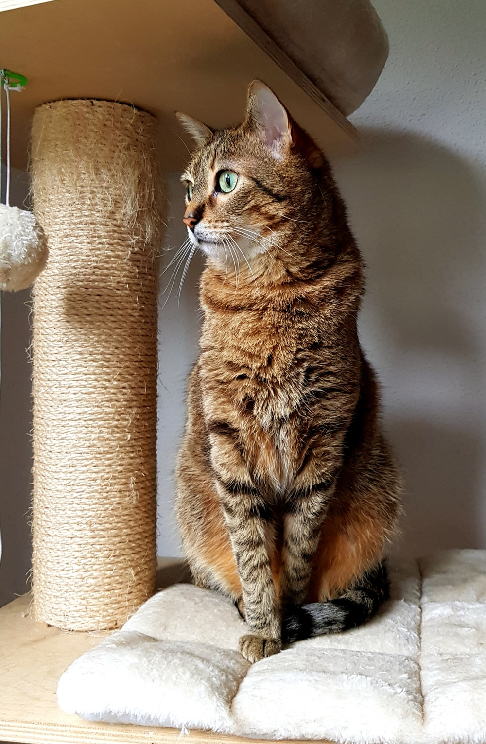 brown tabby cat on cat tree