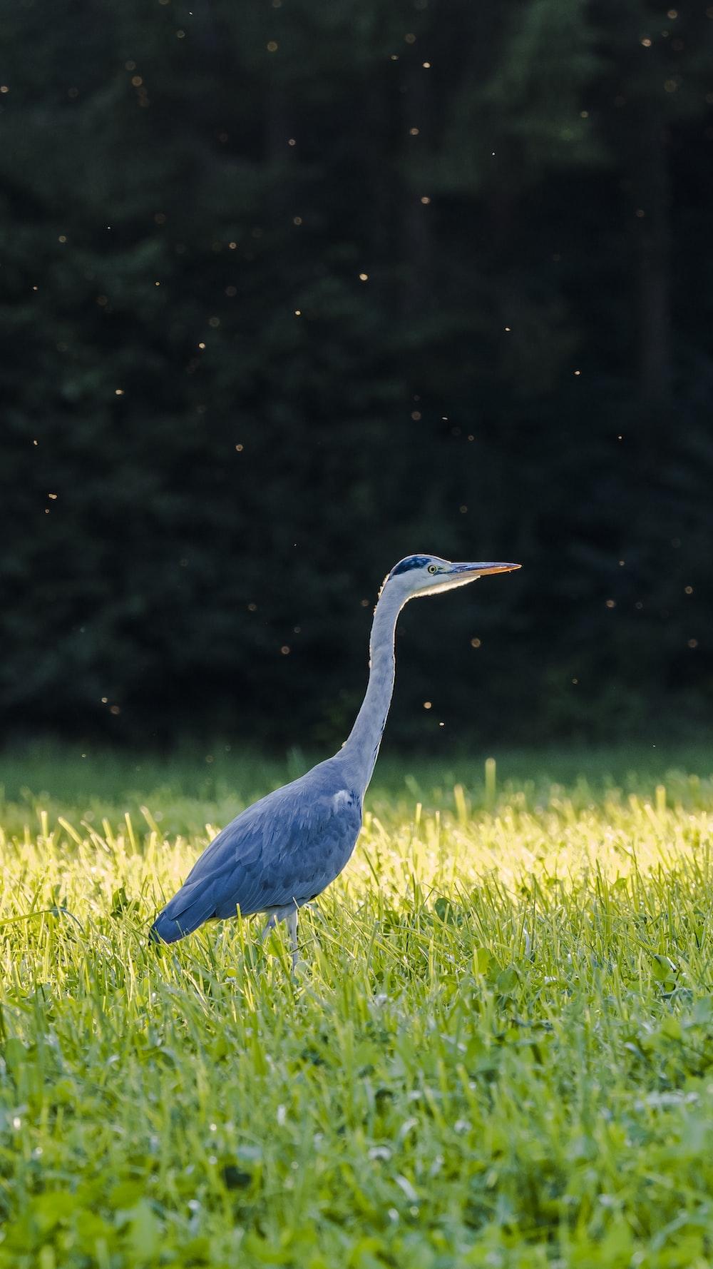 blue long beak bird on green grass field