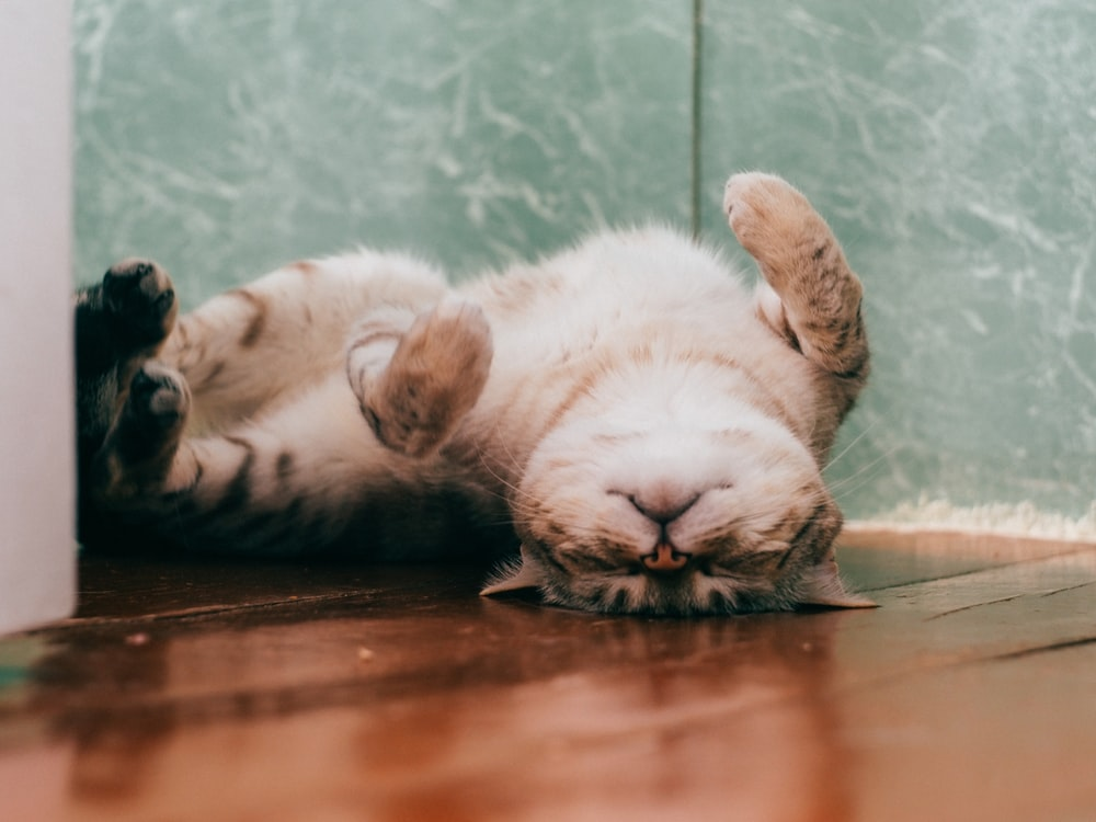 white and brown cat lying on brown wooden floor