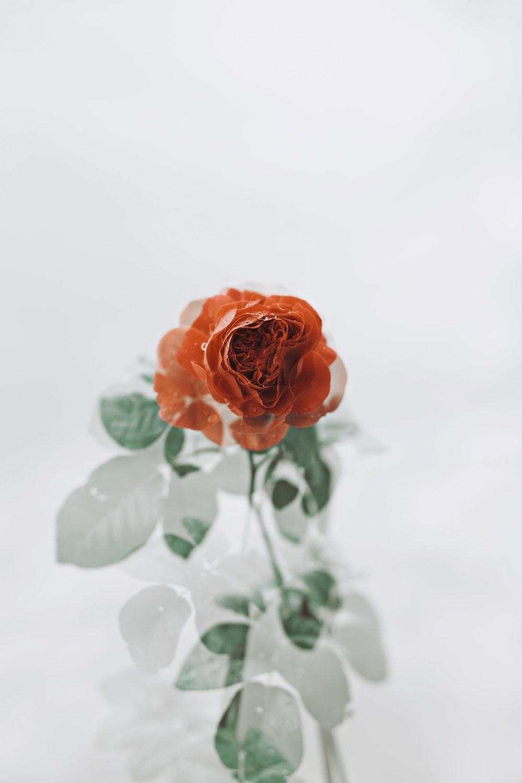 orange rose in bloom close up photo