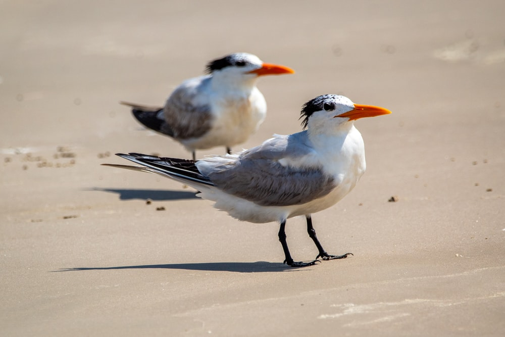 two white and black birds on white sand during daytime