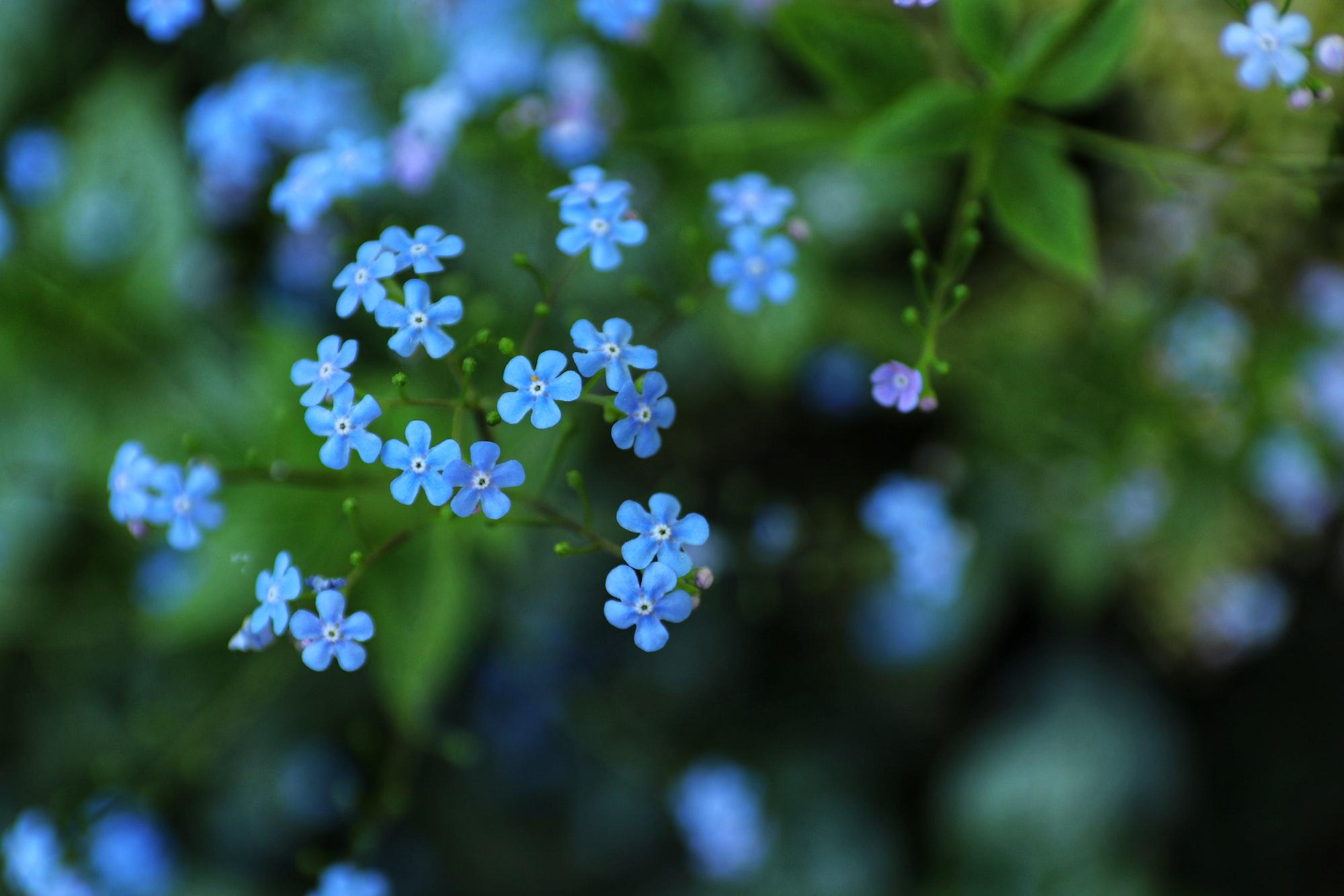 Flor Myosotis, más conocida como nomeolvides