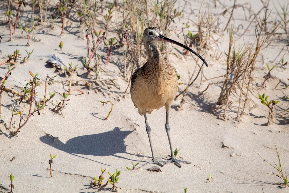 brown bird on gray sand during daytime