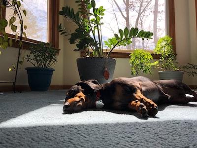 black and tan short coat medium sized dog lying on grey textile potted plant zoom background