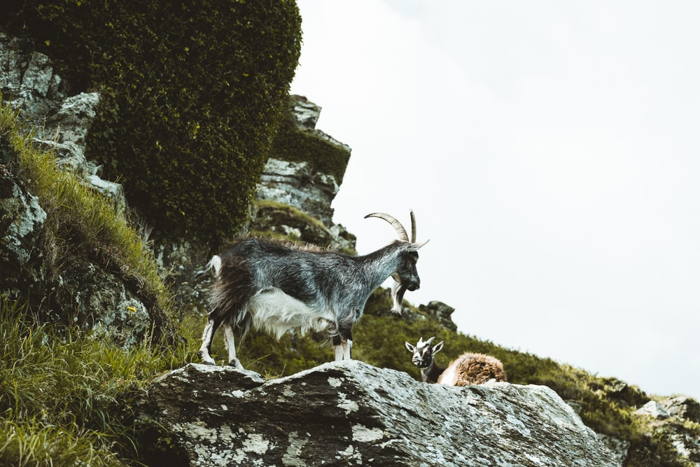 white and black goat on rocky mountain during daytime