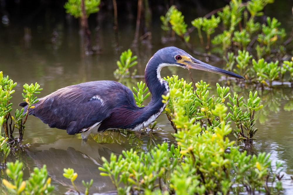 black crowned crane on water