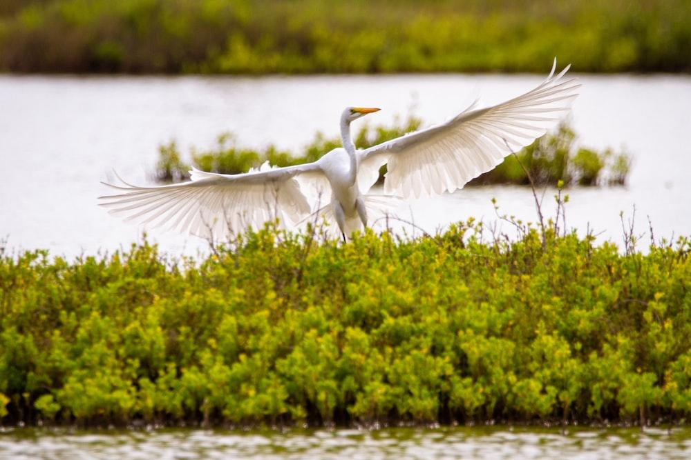 white bird flying over green grass during daytime