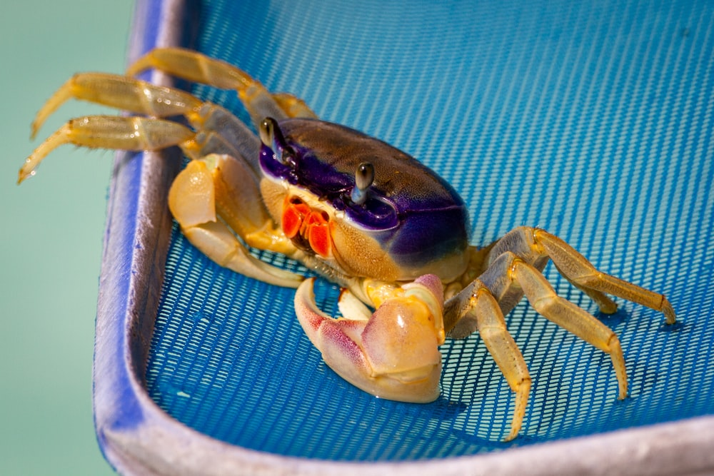 brown crab on blue textile