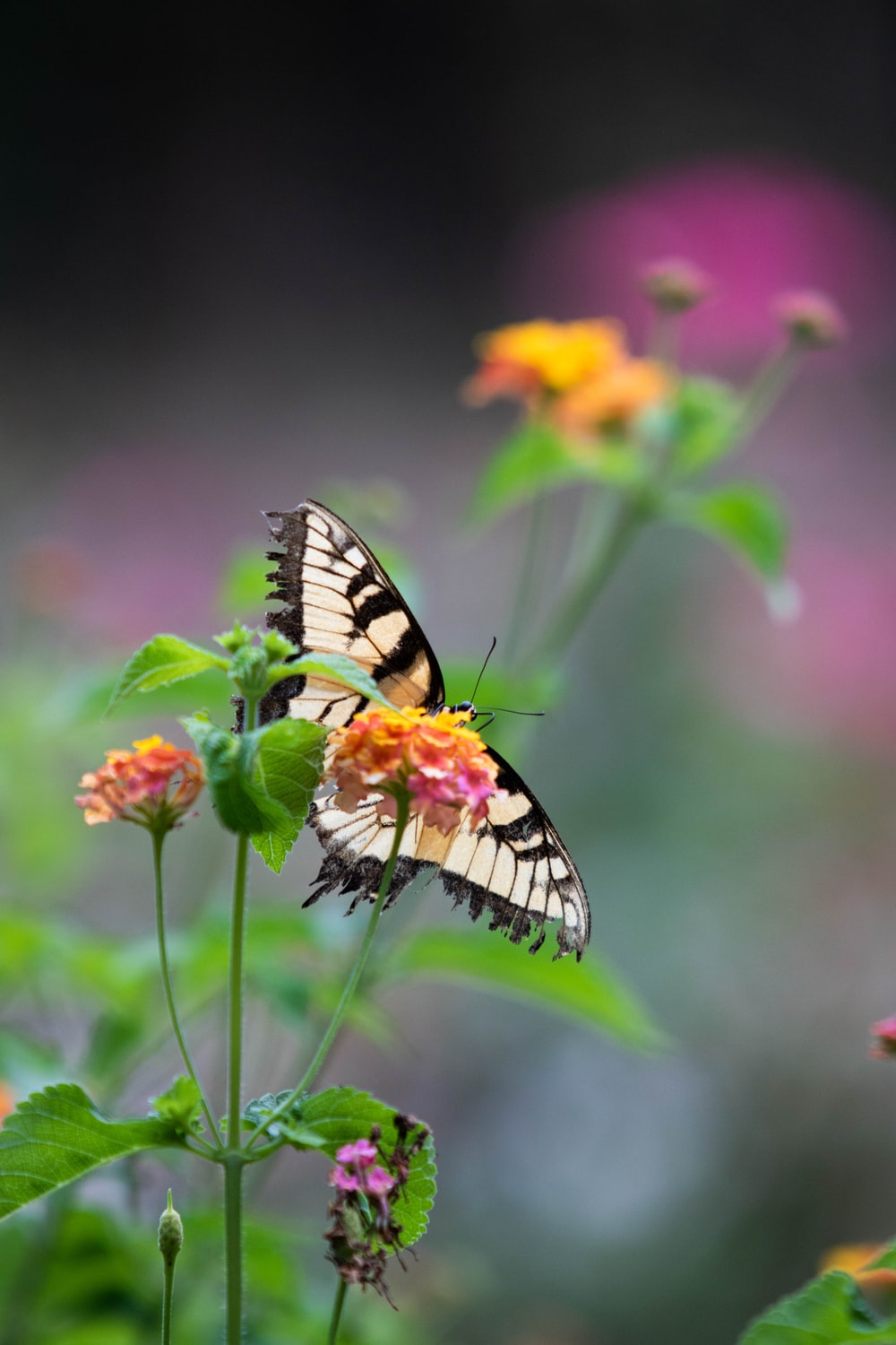 tiger swallowtail butterfly perched on yellow and pink flower in close up photography during daytime