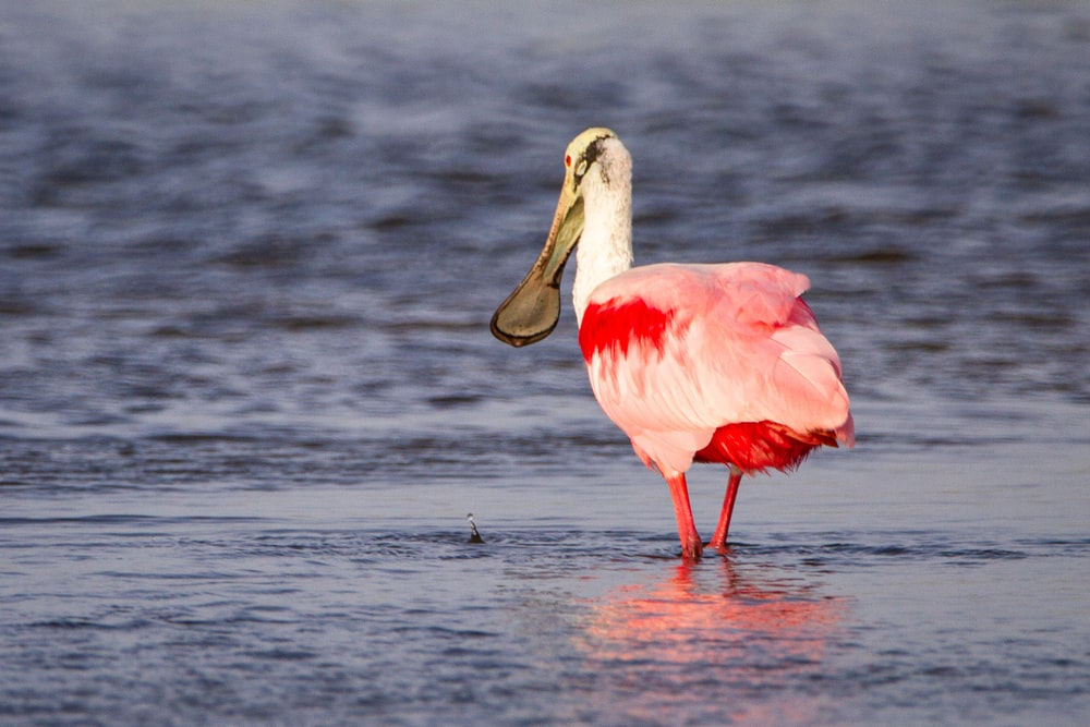 white and pink bird on water during daytime