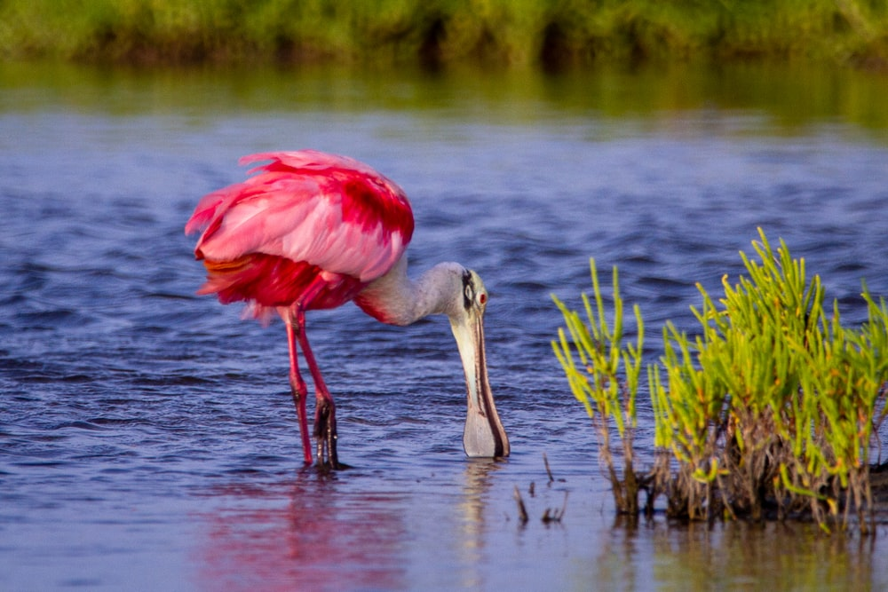 pink and white bird on water during daytime