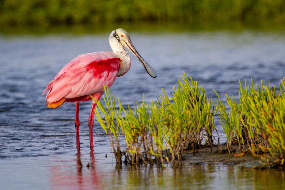 pink bird on water during daytime