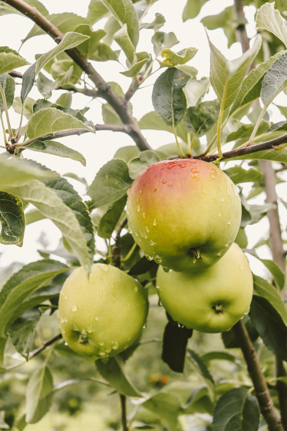 green and red apples on tree