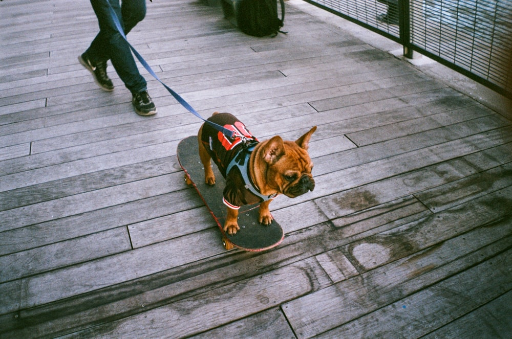 brown short coated dog with black and red dog harness