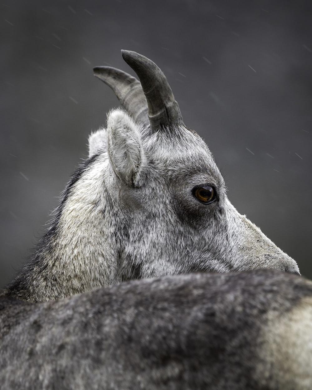 gray and white animal head