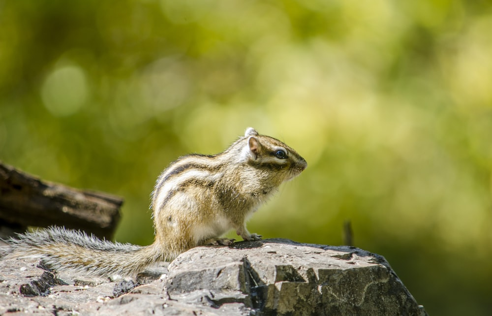 brown squirrel on gray rock during daytime