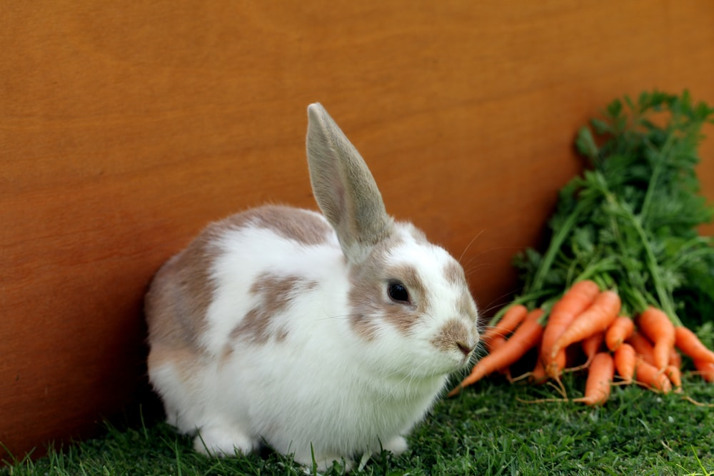 white and brown rabbit on green grass
