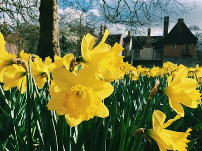yellow daffodils in bloom during daytime york zoom background