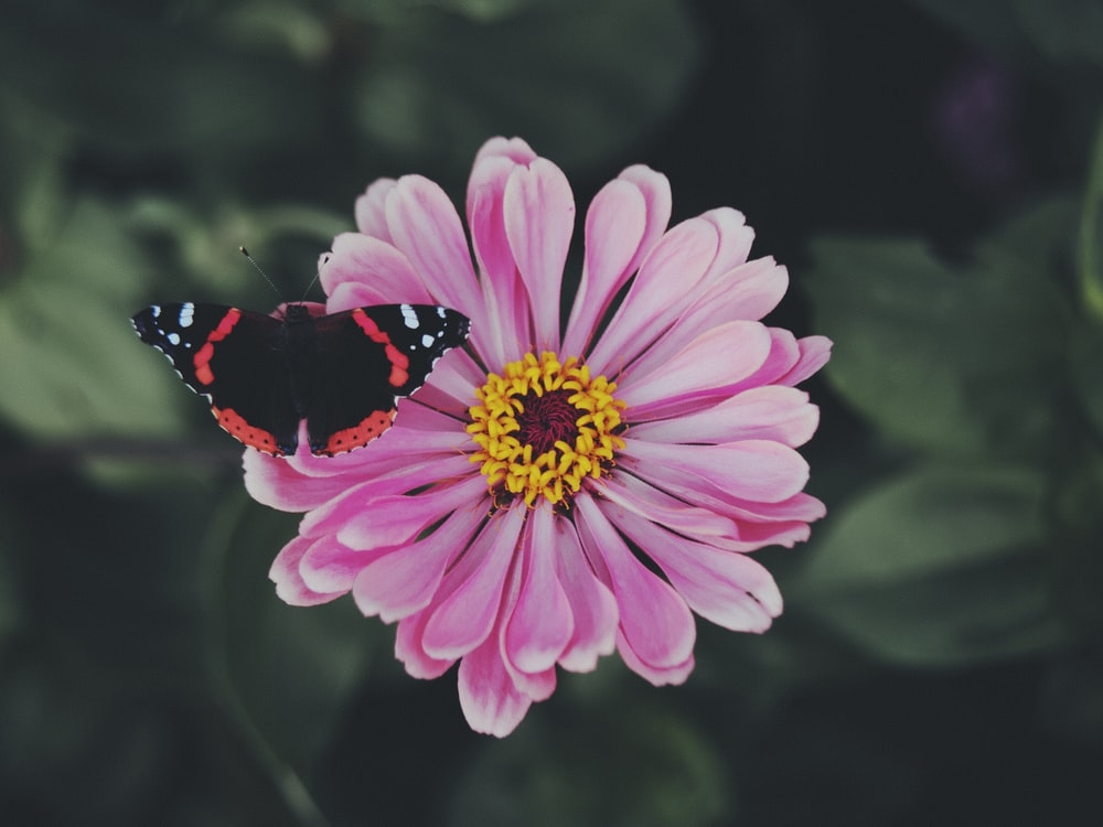 black and white butterfly on pink flower