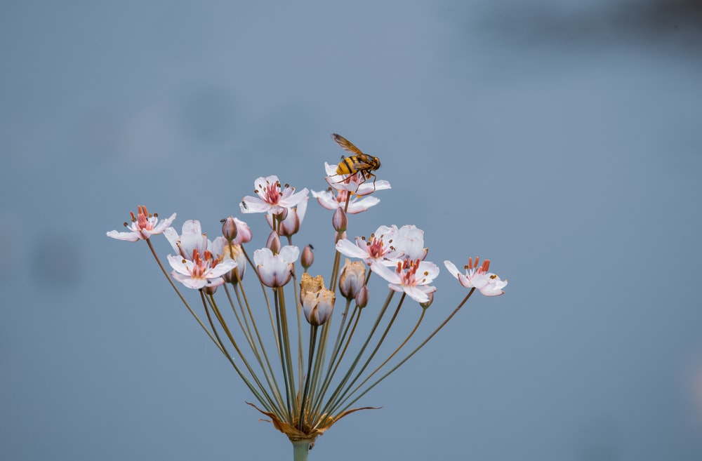 brown and black bee flying over pink flower