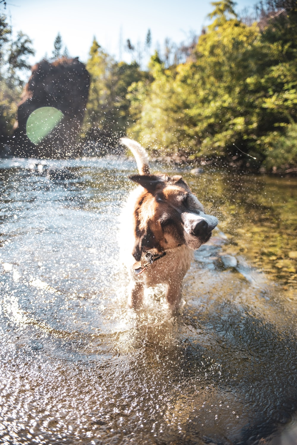 brown and white short coated dog running on water during daytime