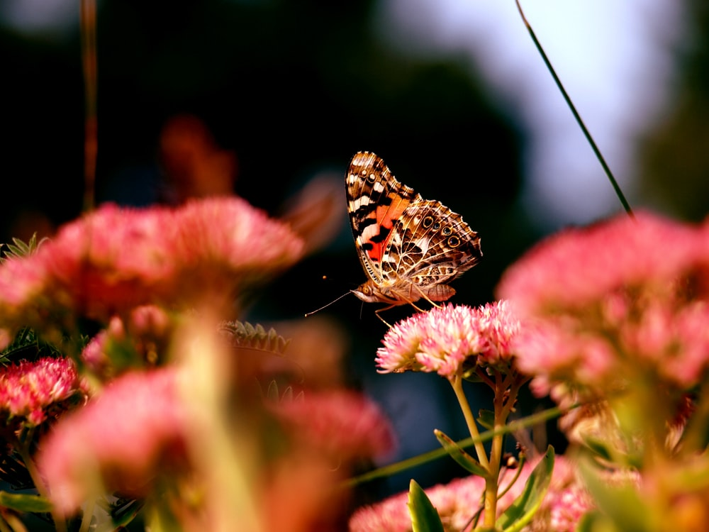 painted lady butterfly perched on pink flower