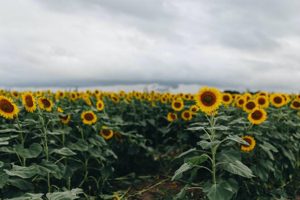 sunflower field under cloudy sky during daytime