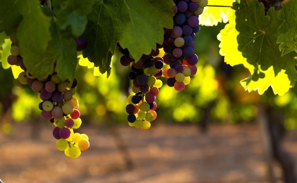 green and brown grapes during daytime