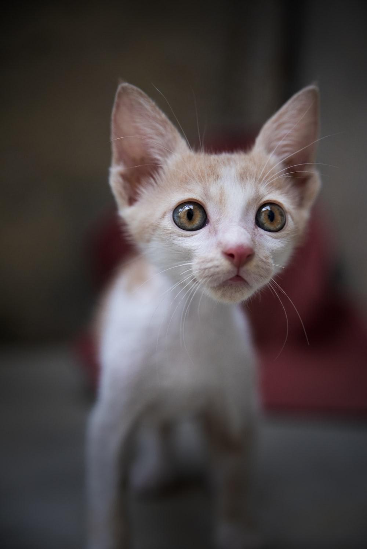 white cat with orange eyes