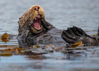 Slough brown sea turtle in water