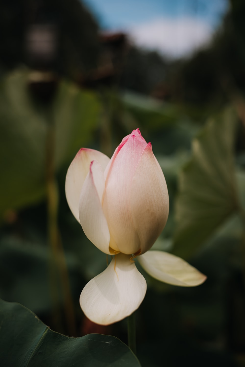 white and pink lotus flower in bloom during daytime