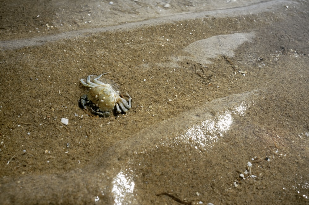 brown crab on brown sand