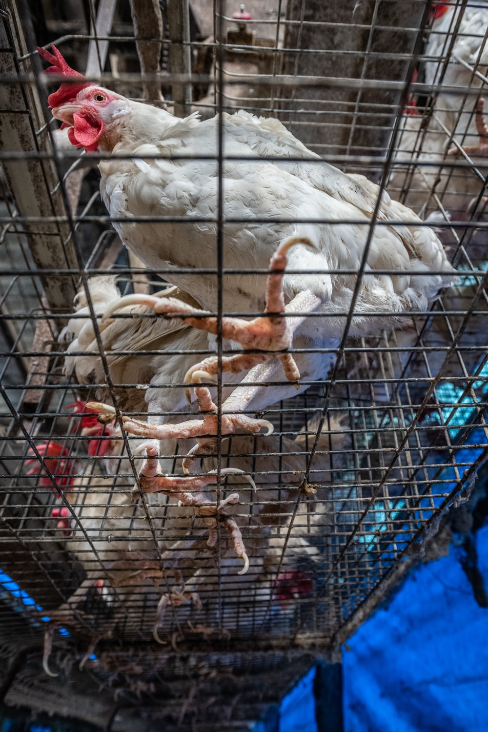 white and brown chicken in cage