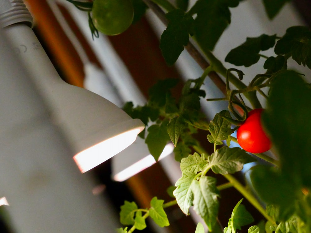 red tomato on green plant