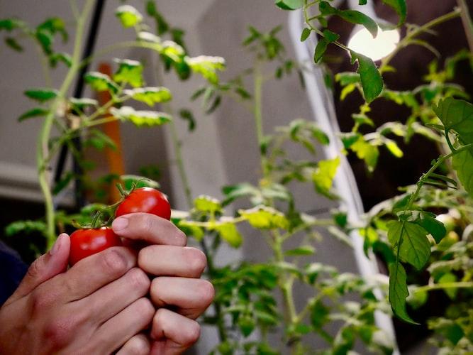 Organic Gardening at Home, tomatoes