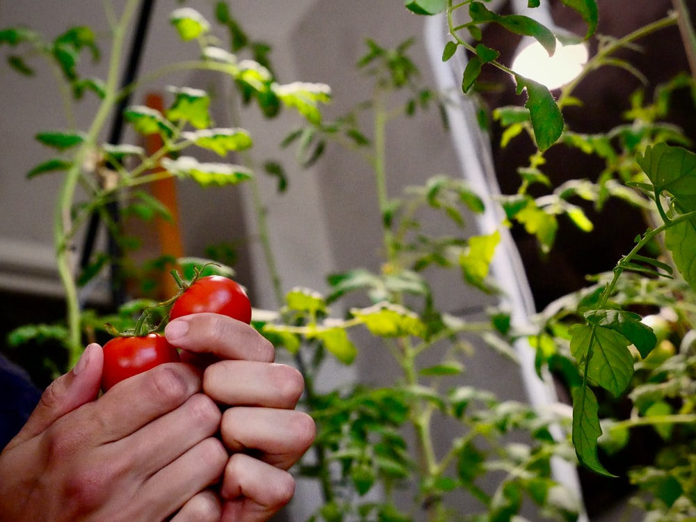 red tomato fruit on persons hand