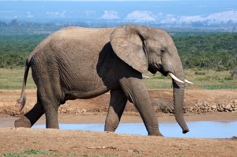 gray elephant walking on brown sand during daytime