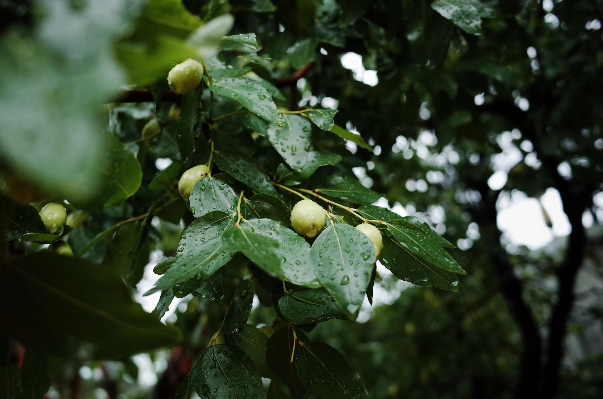 A jujube tree in rainy day