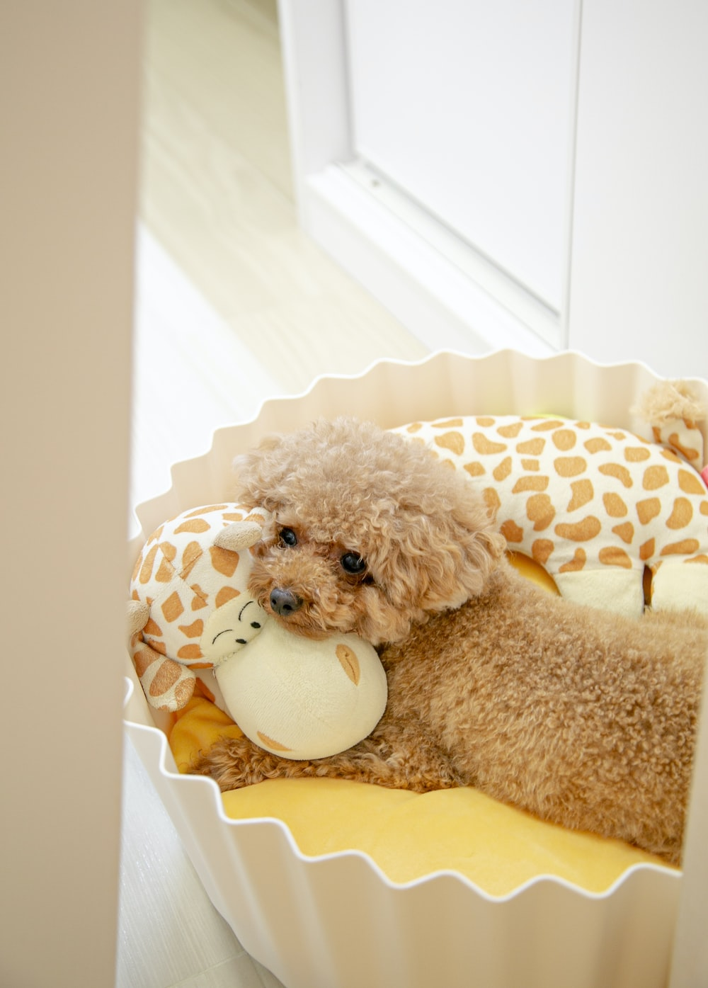 brown poodle puppy on white and brown polka dot textile