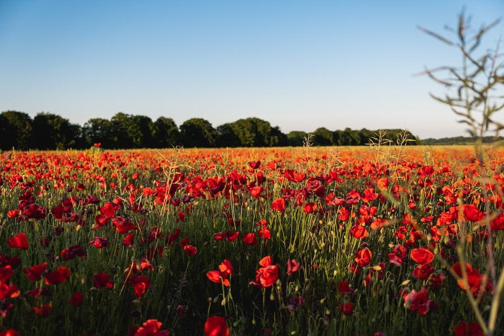 red flower field under blue sky during daytime