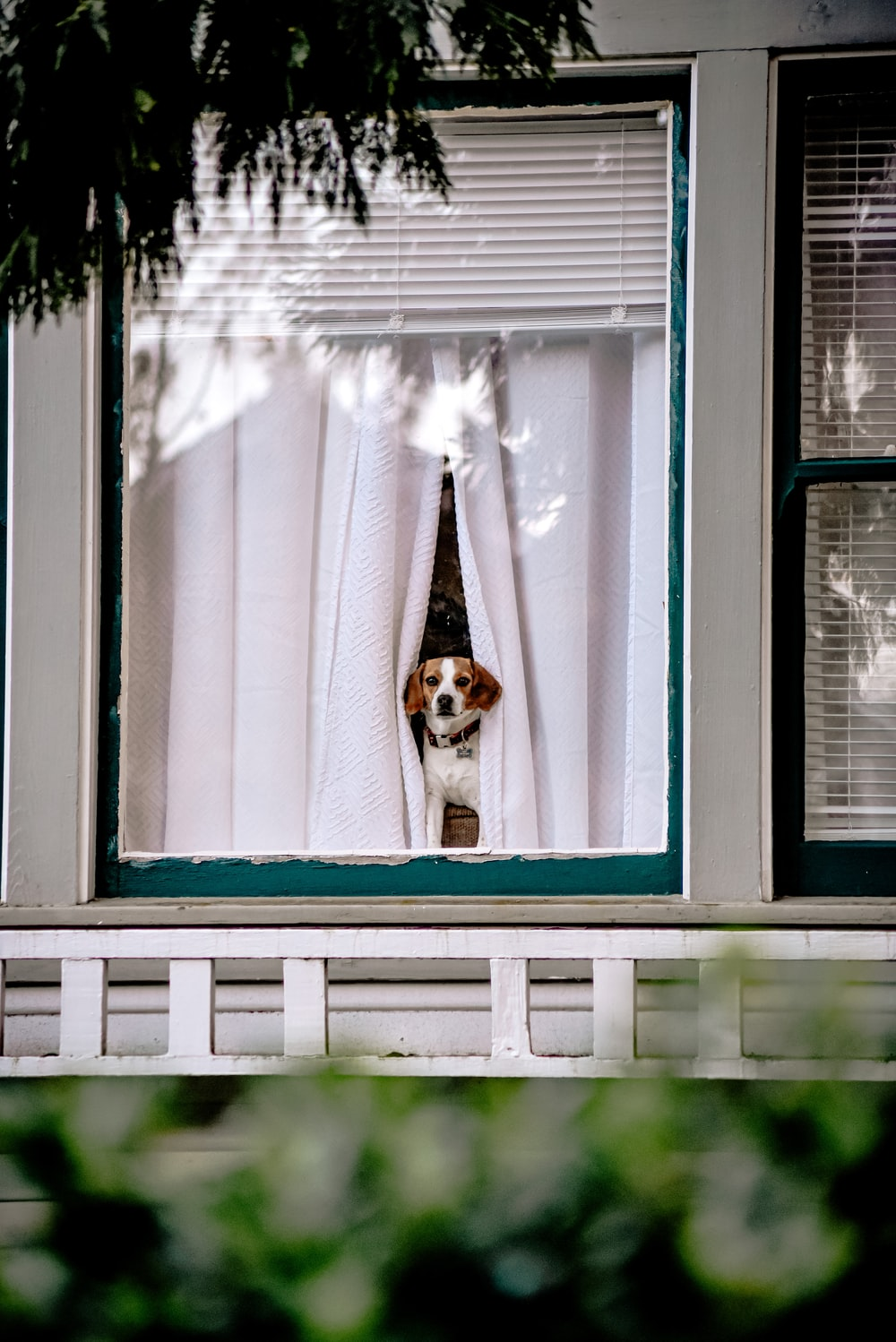 white and brown short coated dog on window