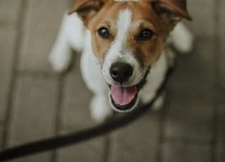 white and brown jack russell terrier mix