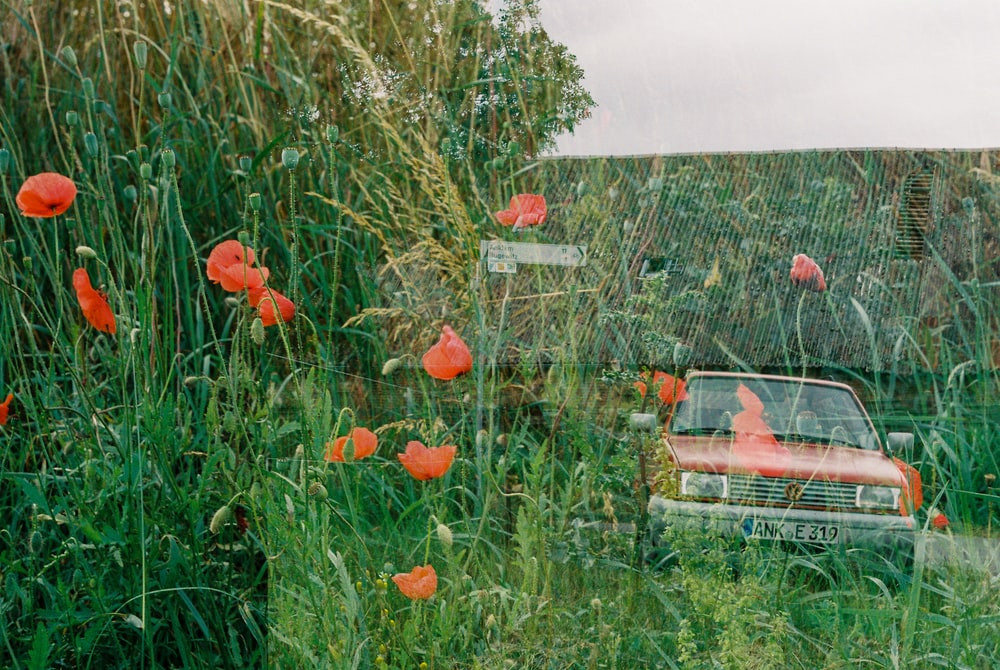 red flowers on green grass field